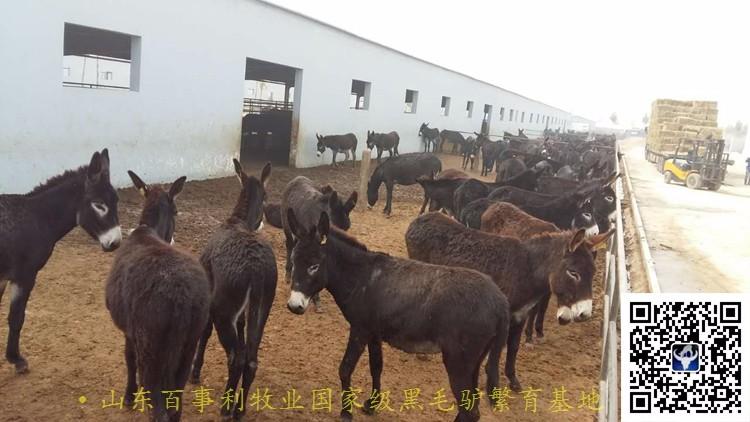 优选:辽宁大连长海县德州驴养殖场